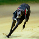 'One greyhound that would certainly attract plenty of votes in a straw poll is Lenson Bocko.' Stock image