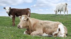 'Cattle represent the live input into industrial meat production. For them they have no say in their involvement in an industry that relies on their death to exist.' Stock photo