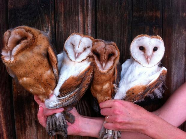 Colour code: Barn owl feathers can determine how successful the bird of prey will be when they are hunting in bright moonlight. Photo: Alexandre Roulin/PA Wire