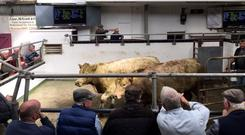 Running the rule: Buyers cast their eye over the fare at Templemore mart