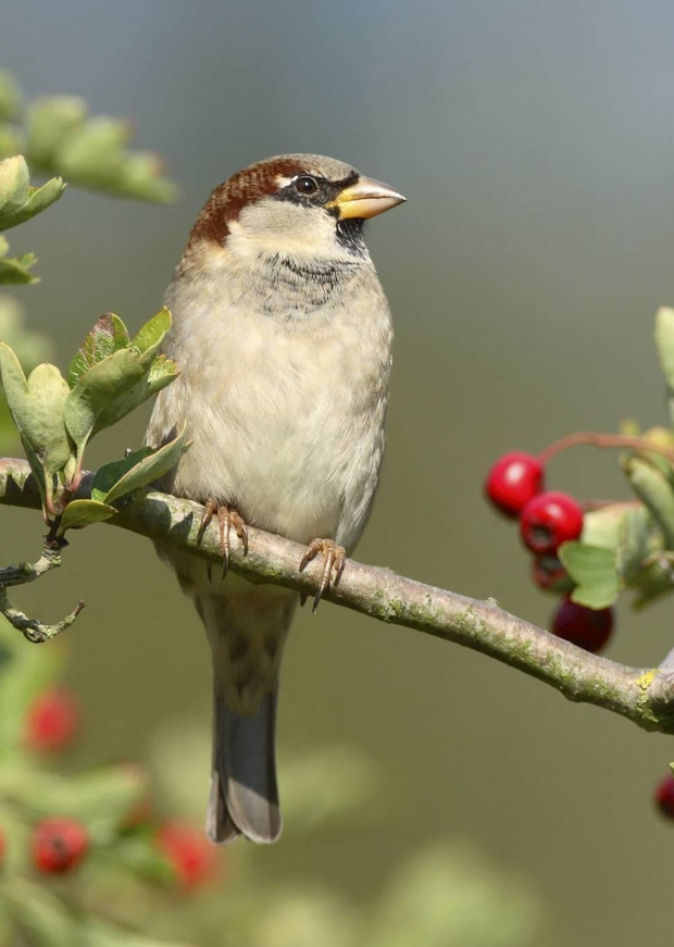 Sparrows were among the birds affected by the sprays. Photo: PA