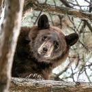 A bear in a tree in Orem, Utah (Steve F Gray/Utah Division of Wildlife Resources/AP)