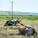 A view of the scene where five cows were electrocuted in a field at Kilballyowen, Cross, in West Clare. Photograph : John Kelly.