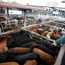 A cattle trader points at cattle for sale inside corrals at the Liniers market, in Buenos Aires, Argentina August 27, 2019. REUTERS/Agustin Marcarian/File Photo