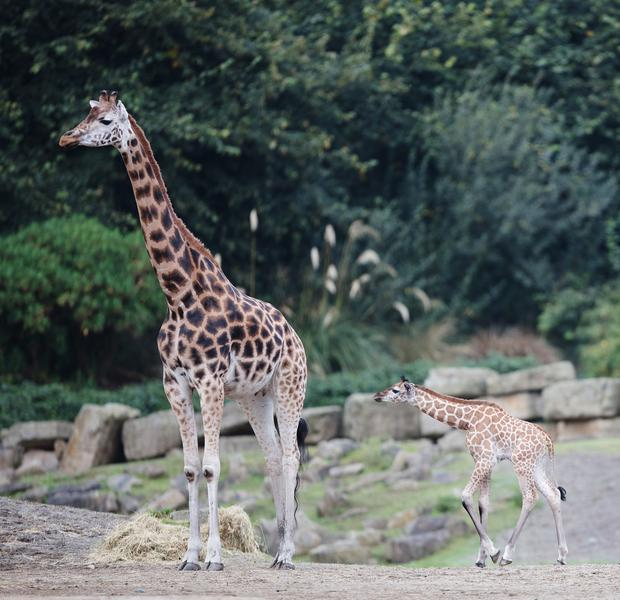 Born in the early hours of Thursday 12th September, the healthy giraffe calf stands at 1.8 meters tall and weighs an estimated 60kg. photo: Patrick Bolger