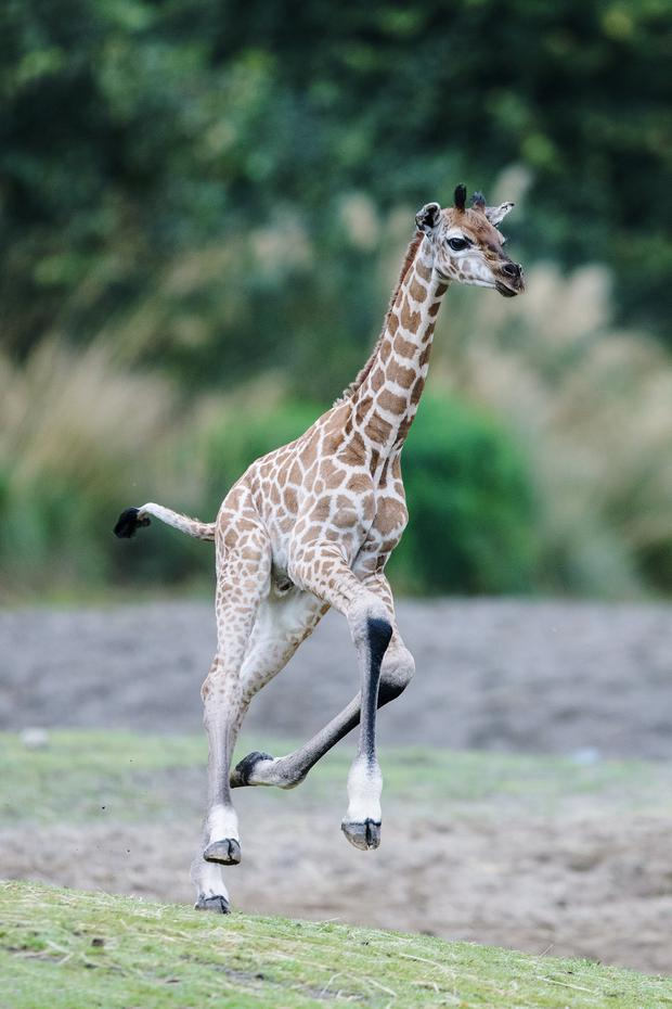 The new-born joins the rest of the giraffe herd in the African Savanna at Dublin Zoo. photo: Patrick Bolger