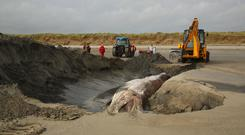 Final resting place: The young fin whale is covered by the sands at Dollymount Strand yesterday. Photo: Mick Carolan