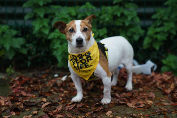 Little terrier Pudsey is now making a great recovery. Photograph: Fran Veale