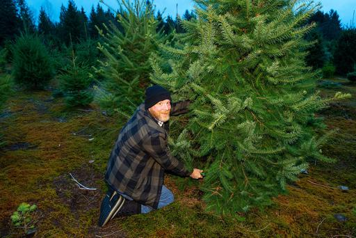 Bumper crop: The Garda patrols will focus on Co Wicklow, home to Ireland's largest concentration of Christmas tree farms