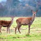 Line of fire: deer poaching has become a high-tech and lucrative business in recent years, with groups of organised poachers illegally entering farmland without farmers' permission, even in broad daylight claims a farmer in east Clare
