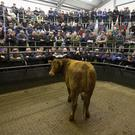 Centre of attention: There was a huge turn out at Gort Mart special sale of cattle and in-calf heifers. This 625kg in-calf heifer sold for €1,550. Photo Brian Farrell