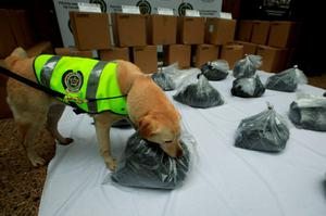 Mona, a Colombian drug-sniffing dog, inspects packs of cocaine at the police building during a photo opportunity to the media in Bogota, Colombia September 7, 2015. Police in Colombia and Mexico have seized more than two tonnes of cocaine after a drug-sniffing dog alerted authorities in Bogota to the narcotics, which had been dyed black and falsely registered as an ingredient in printer cartridges, the Colombian police said on Monday.  REUTERS/ John Vizcaino