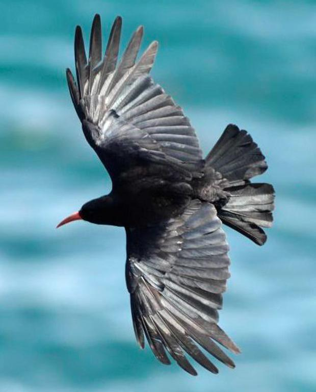 RARE: A female adult chough above Lizard Point, Cornwall. Photo: Barry Batchelor/PA Wire