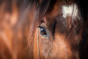 New documents reveal almost 25,000 horses, many of them racing thoroughbreds, sport horses and boom-time playthings, were legally slaughtered for human consumption in 2012