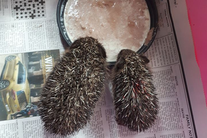 Two rescued siblings get stuck into a feed. Photo: Hedgehog Rescue Dublin