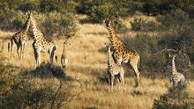 Giraffes are just some of the wildlife to spot in Namibia
