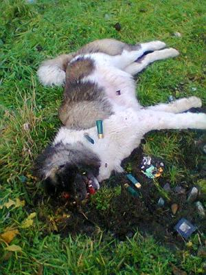 This disturbing image shows the dog, which was of a husky breed, with part of his head blown off. Athlone SPCA is appealing for information