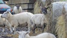 Frosty weather: Sheep keep close to a frosty supply of  hay at Drummany, Milltown, Co. Cavan. Photo: Lorraine Teevan