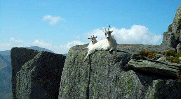 Goats on the Tryfan mountain