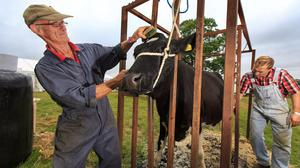 Scrubbing up: Richard and Mervyn Jones from Gorey, Wexford getting a bovine exhibitor ready for the crowds at the Ploughing Championships in Co Carlow. Photo: Mark Condren