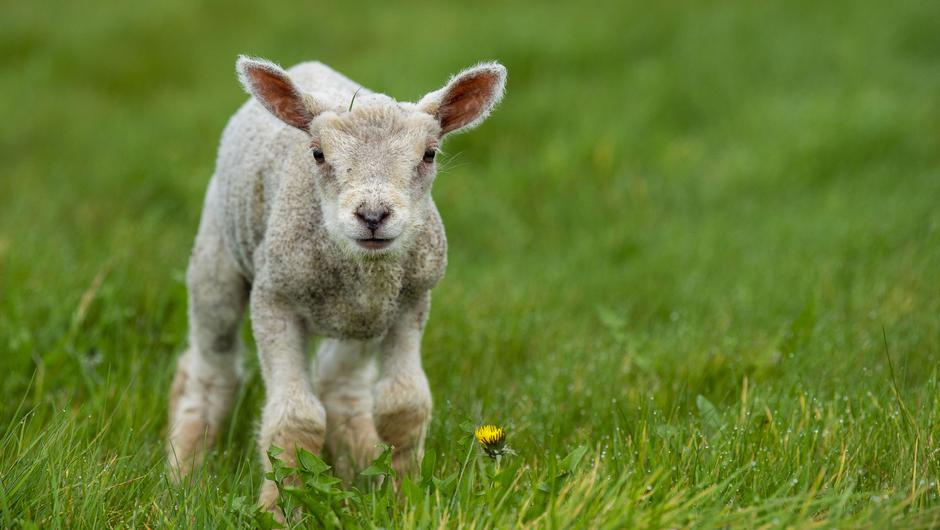 The male lamb, estimated to be just 3-4 weeks old, was not weaned and when found, in a yard at the back of the house, was showing signs of dehydration and malnourishment