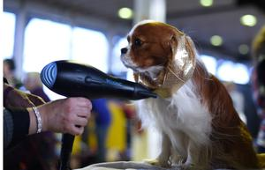A Cavalier King Charles Spaniel is seen in the benching area during Day One of competition at the Westminster Kennel Club 141st Annual Dog Show in New York on February 13, 2017