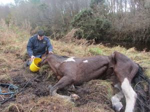 The skewbald Trotter was discovered chest deep in a drain near Edenderry. Photo: ISPCA