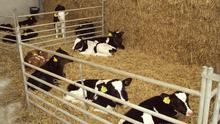 Gains: Dutch research has found that the average daily weight gain pre-weaning was 200g higher in calves fed four litres of colostrum versus the ones fed two litres.