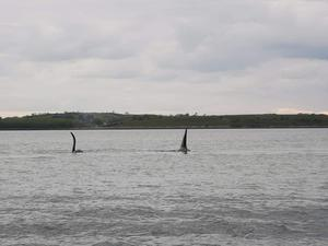 Killer whales spotted off the coast of Co Down this evening. Credit: Irish Whale and Dolphin Group Facebook