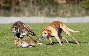 Halt: Hare coursing licences have been suspended in light of the disease