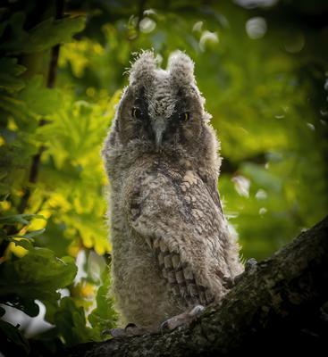 A long-eared owlet almost ready to fledge. Photo: John Murphy Photography