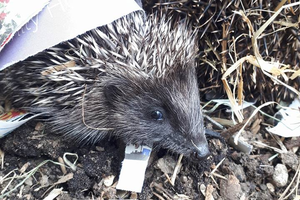 Some hedgehogs can't be released back into the wild. Photo: Hedgehog Rescue Dublin