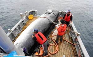 Researchers load a whale on the deck during a research whaling off Kushiro in Japan  Credit: Getty Images