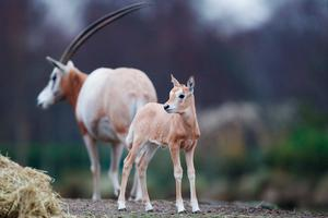 The scimitar-horned oryx was once widespread across northern Africa but due to overhunting and habitat loss, they have gradually disappeared from the wild. Photo: Patrick Bolger