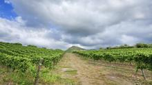 A vineyard in Sicily - the island now concentrates on quality.