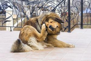 Fleas are common in Ireland all year round in dogs and cats, with both species sharing them.