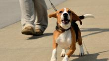 Walking A Beagle pup on a sunny day in the park.