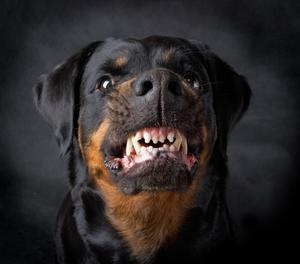 The boy was set upon by two Rottweilers in the attack