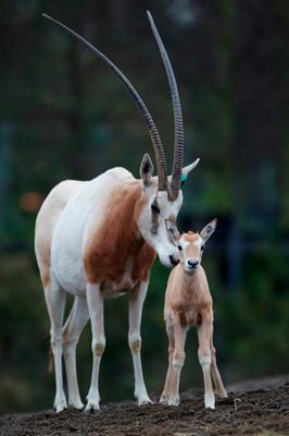 The baby oryx who was born in Dublin Zoo in early December. Photo: Patrick Bolger