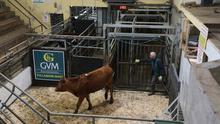Distance selling: The scene at Tullamore Mart during last Thursday's sale online catle sale. Photo: James Treacy