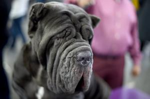 A Neopolitan Mastiff waits in the judging area during day two of competition at the Westminster Kennel Club 141st Annual Dog Show in New York on February 14, 2017. / AFP / TIMOTHY A. CLARY        (Photo credit should read TIMOTHY A. CLARY/AFP/Getty Images)