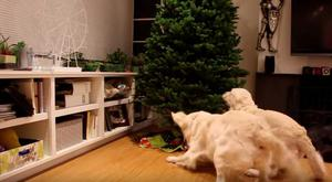 Golden Retrievers don't know what this intruder (Christmas tree) is doing in the living room