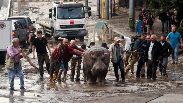 People help a hippopotamus escape from a flooded zoo in Tbilisi, Georgia, Sunday, June 14, 2015. Tigers, lions, a hippopotamus and other animals have escaped from the zoo in Georgias capital after heavy flooding destroyed their enclosures, prompting authorities to warn residents in Tbilisi to say inside Sunday. At least eight people have been killed in the disaster, including three zoo workers, and 10 are missing.  (AP Photo/Tinatin Kiguradze)