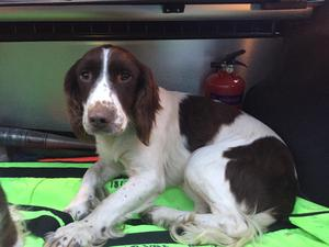 The springer spaniel is one of two dogs that were rescued by gardai in Limerick last Monday. Photo: Garda Info/Twitter