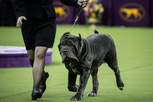 A Neapolitan Mastiff runs during competition in the working category on the final night at the Westminster Kennel Club Dog Show at Madison Square Garden, February 14, 2017 in New York City.