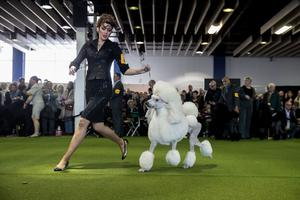 A Standard Poodle runs during competition at the 141st Westminster Kennel Club Dog Show, February 13, 2017 in New York City.