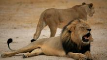 Zimbabwe Parks and Wildlife Management Authority said that in future anyone hunting in the country's most iconic wildlife would need their permission