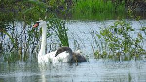Controversial plans: After years of peat harvesting, the bog at Derryadd, near Lanesborough, Co Longford, has been returning to nature and is populated by swans