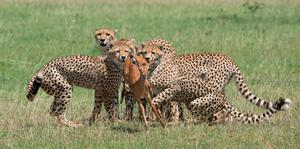 Cubs hunting an impala in Kenya's Masai Mara Conservancies. Photo: PA Photo/Sarah Marshall.
