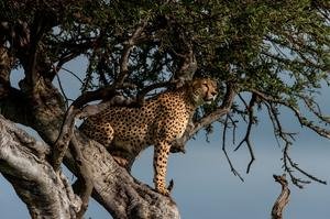 Cheetah in a tree in Kenya's Masai Mara Conservancies. Photo: PA Photo/Sarah Marshall.